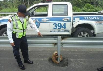 Як кумедний лінивець застряг посеред  автобану  - фото 1