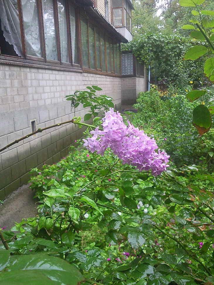 Як на Запоріжжі наприкінці вересня бузок цвіте - фото 1