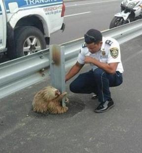 Як кумедний лінивець застряг посеред  автобану  - фото 2