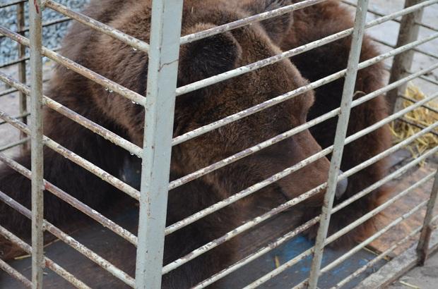 """Бурий ведмідь Балу сьогодні, 24 лютого, відправився з Запоріжжя на Закарпаття – в центр реабілітації ведмедів """"Синевір""""   - фото 13"""