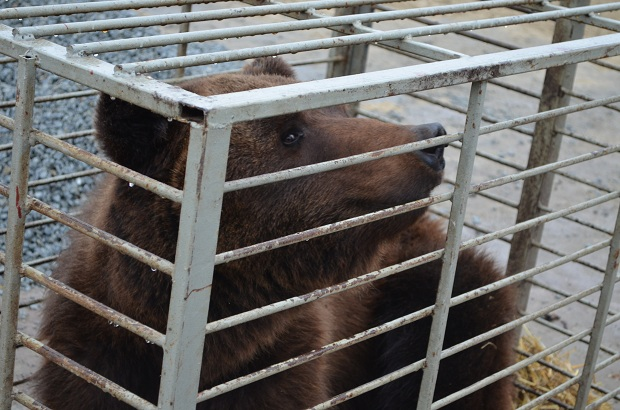 """Бурий ведмідь Балу сьогодні, 24 лютого, відправився з Запоріжжя на Закарпаття – в центр реабілітації ведмедів """"Синевір""""   - фото 12"""
