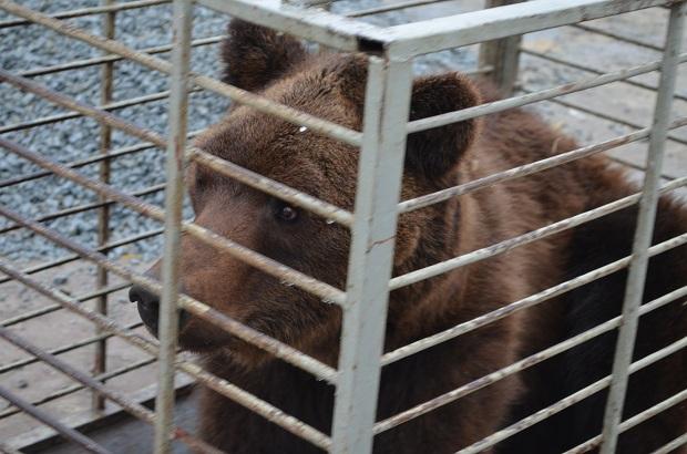 """Бурий ведмідь Балу сьогодні, 24 лютого, відправився з Запоріжжя на Закарпаття – в центр реабілітації ведмедів """"Синевір""""   - фото 10"""