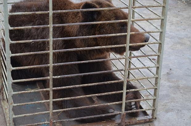 """Бурий ведмідь Балу сьогодні, 24 лютого, відправився з Запоріжжя на Закарпаття – в центр реабілітації ведмедів """"Синевір""""   - фото 9"""
