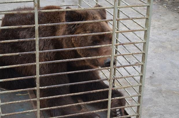 """Бурий ведмідь Балу сьогодні, 24 лютого, відправився з Запоріжжя на Закарпаття – в центр реабілітації ведмедів """"Синевір""""   - фото 7"""