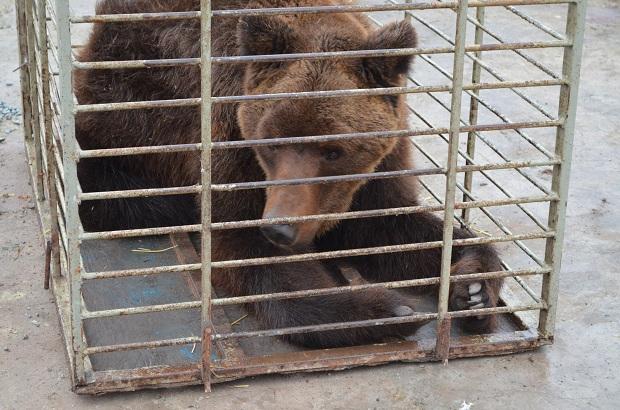 """Бурий ведмідь Балу сьогодні, 24 лютого, відправився з Запоріжжя на Закарпаття – в центр реабілітації ведмедів """"Синевір""""   - фото 6"""