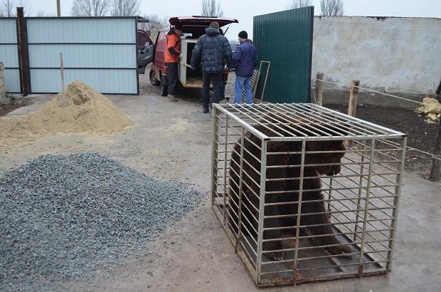 """Бурий ведмідь Балу сьогодні, 24 лютого, відправився з Запоріжжя на Закарпаття – в центр реабілітації ведмедів """"Синевір""""   - фото 16"""