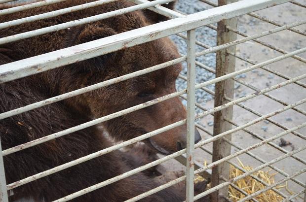 """Бурий ведмідь Балу сьогодні, 24 лютого, відправився з Запоріжжя на Закарпаття – в центр реабілітації ведмедів """"Синевір""""   - фото 21"""