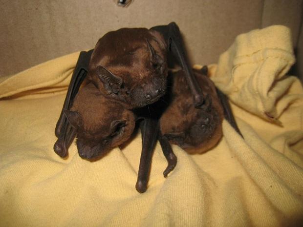 Запорізька зоозахисниця Олеся Кулік розповіла, як рятує родину кожанів, що занадто рано вийшли з зимової сплячки - фото 1