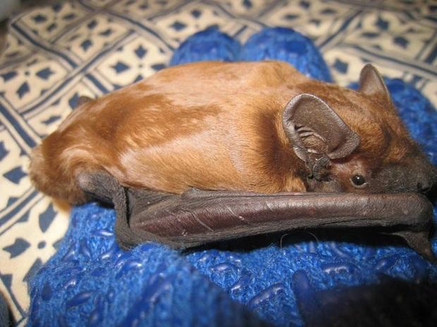 Запорізька зоозахисниця Олеся Кулік розповіла, як рятує родину кожанів, що занадто рано вийшли з зимової сплячки - фото 3
