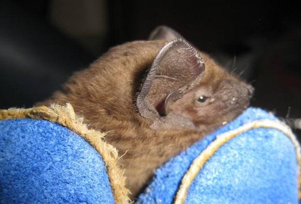 Запорізька зоозахисниця Олеся Кулік розповіла, як рятує родину кожанів, що занадто рано вийшли з зимової сплячки - фото 5