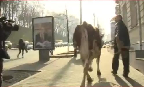 Ляшко влаштував коров`яче шоу під Кабміном - фото 3