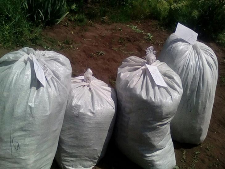 На Кам'янеччині на своєму городі літня жінка вирощувала тисячі кущів маку - фото 2