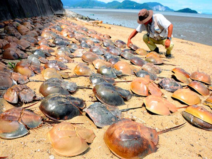 В Японії помирають членистоногі, що не видозмінювалися 450 мільйонів років - фото 1