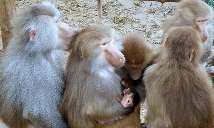 В зоопарку Бердянська у родини павіанів народився малюк   - фото 2