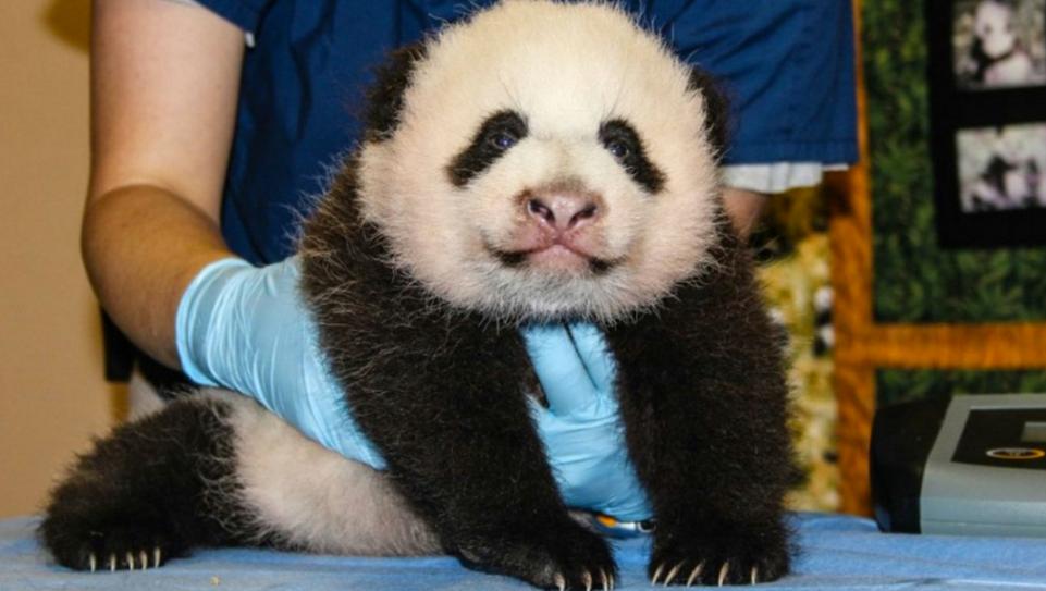 Як виглядає дитсадок для панд у Китаї (ФОТО) - фото 1