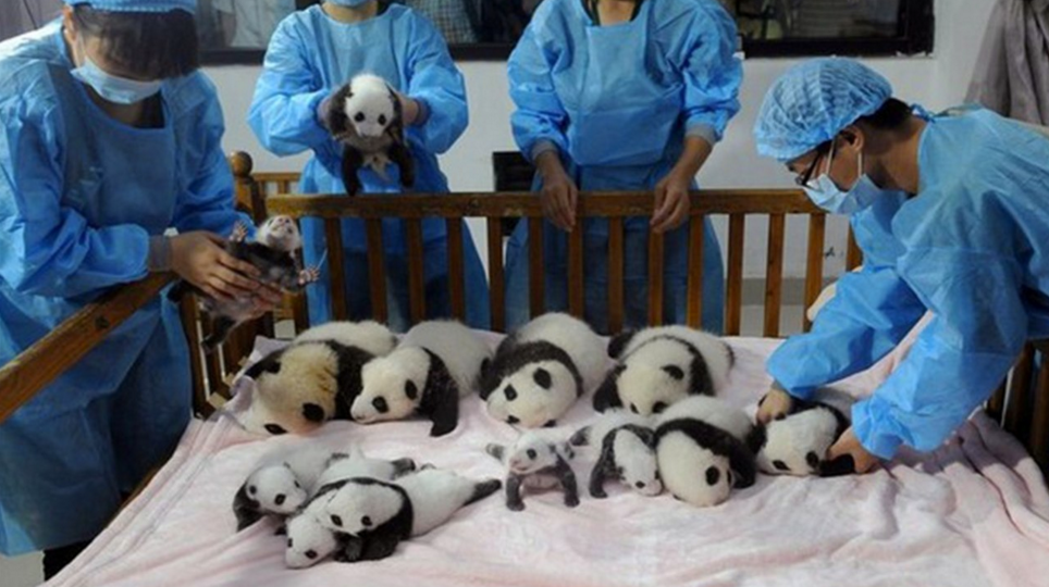 Як виглядає дитсадок для панд у Китаї (ФОТО) - фото 2