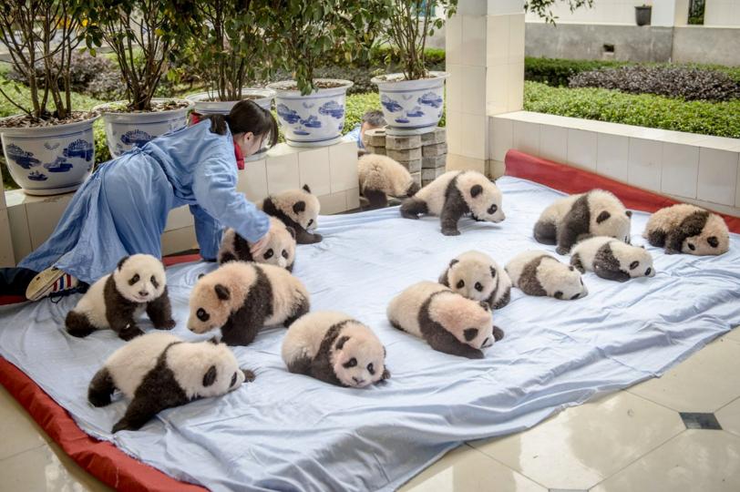 Як виглядає дитсадок для панд у Китаї (ФОТО) - фото 3