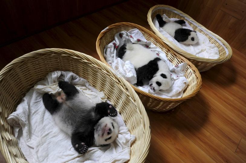 Як виглядає дитсадок для панд у Китаї (ФОТО) - фото 4