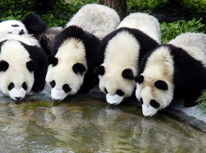 Як виглядає дитсадок для панд у Китаї (ФОТО) - фото 5