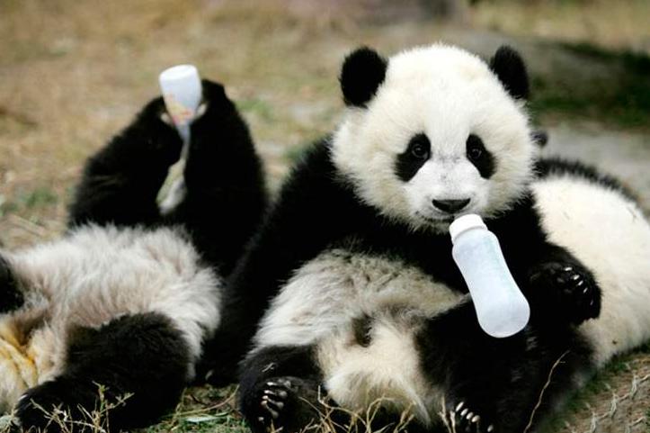 Як виглядає дитсадок для панд у Китаї (ФОТО) - фото 7