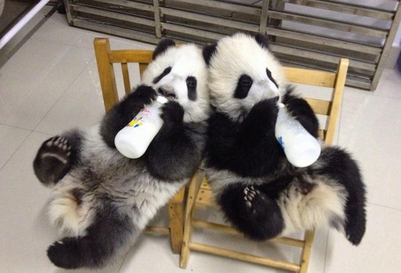 Як виглядає дитсадок для панд у Китаї (ФОТО) - фото 8
