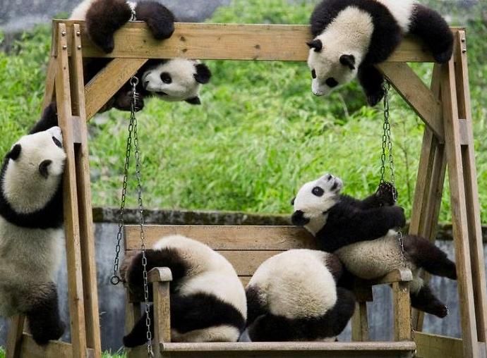 Як виглядає дитсадок для панд у Китаї (ФОТО) - фото 9