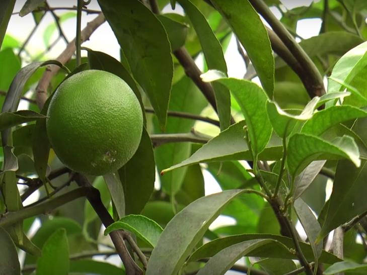 Хмельничанин вирощує 45 сортів цитрусових - фото 1