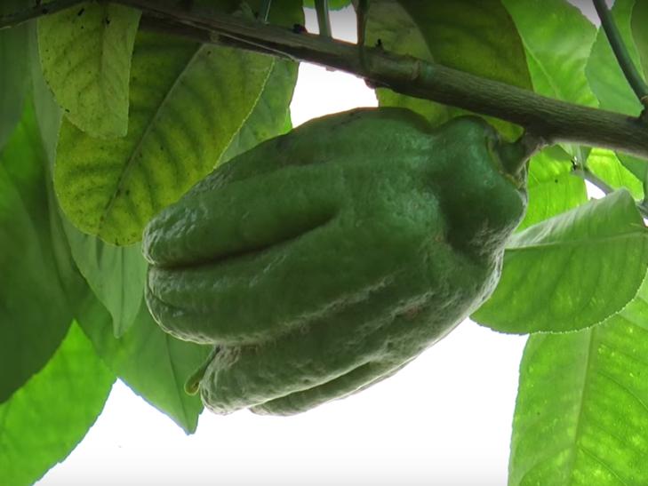 Хмельничанин вирощує 45 сортів цитрусових - фото 4