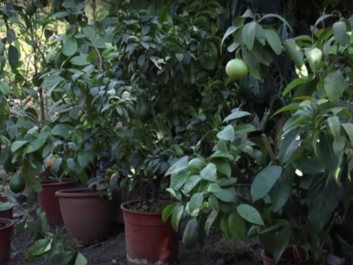 Хмельничанин вирощує 45 сортів цитрусових - фото 6