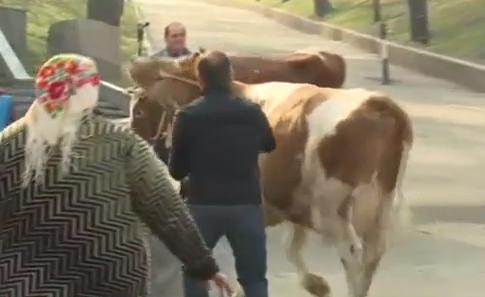 Ляшко влаштував коров`яче шоу під Кабміном - фото 1