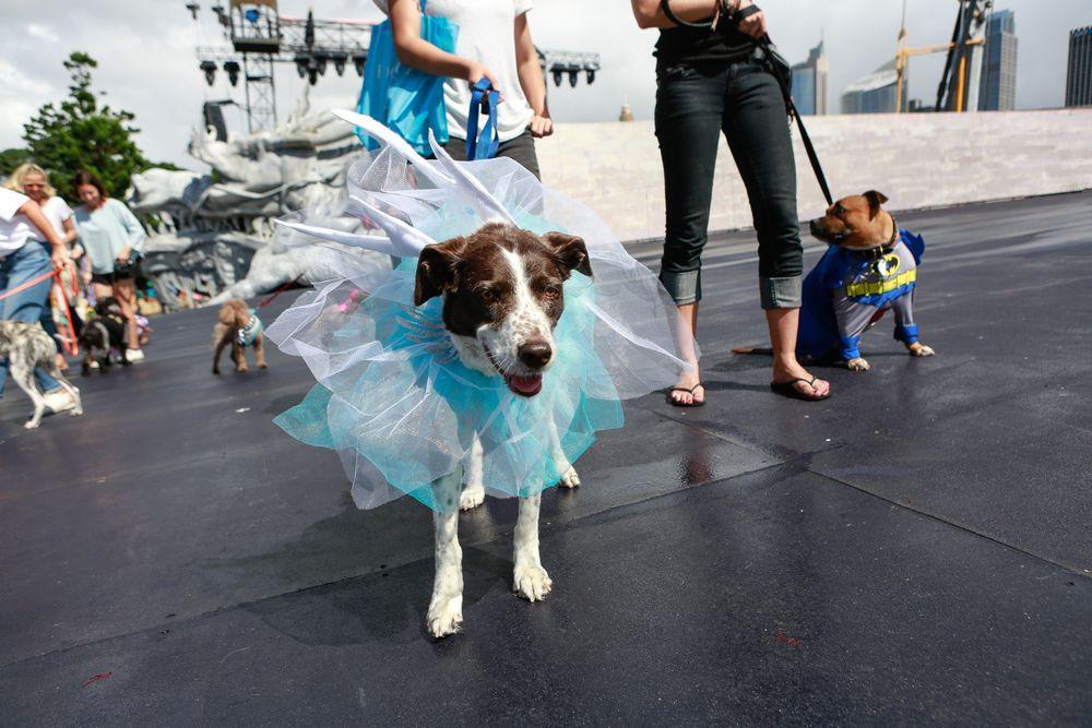 Як у Австралії собаки в костюмах до опери ходили - фото 1