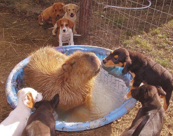 Як тварини обожнюють кумедних капібар  - фото 8