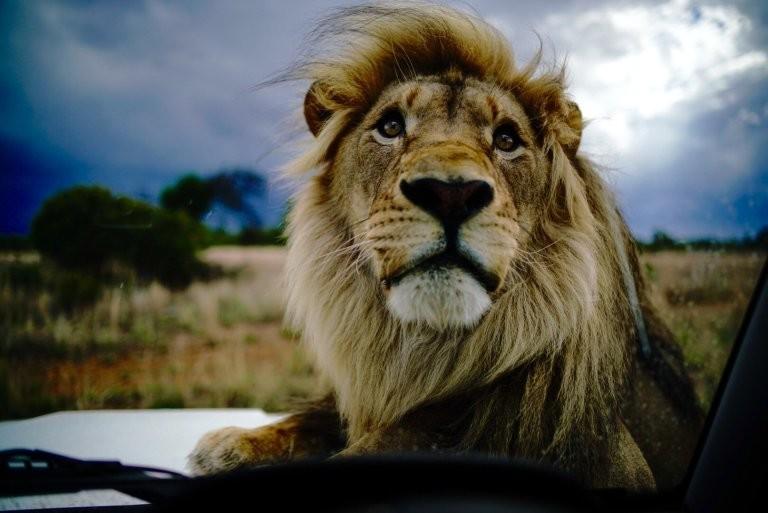 Повелитель левів: як чоловік дружить із левами  - фото 3
