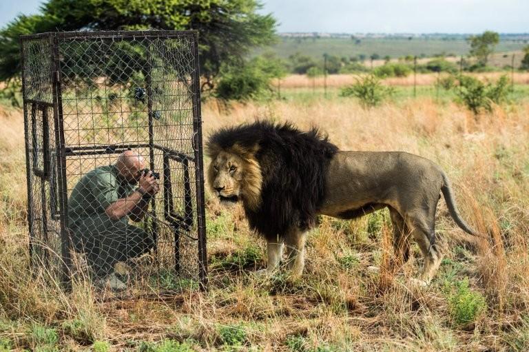 Повелитель левів: як чоловік дружить із левами  - фото 2