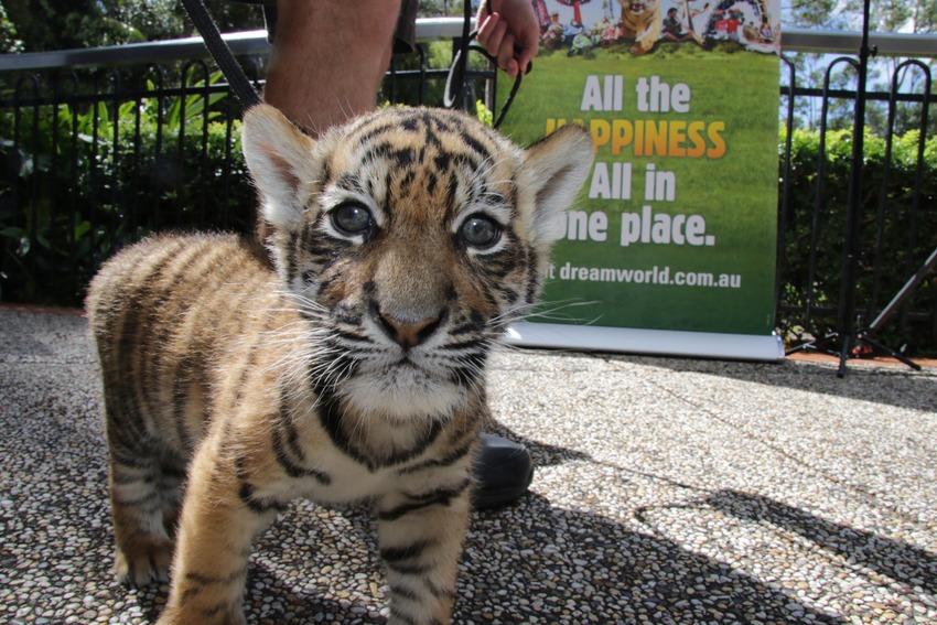Як двоє неймовірних тигренят оселилися в Австралії  - фото 3