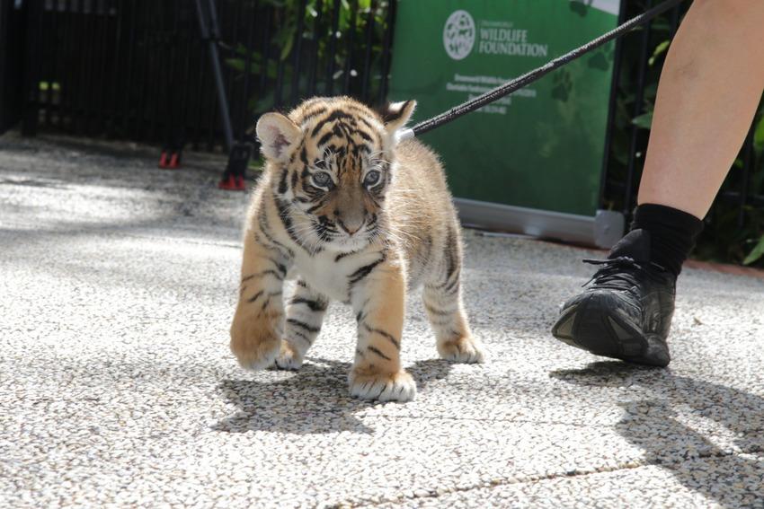 Як двоє неймовірних тигренят оселилися в Австралії  - фото 2