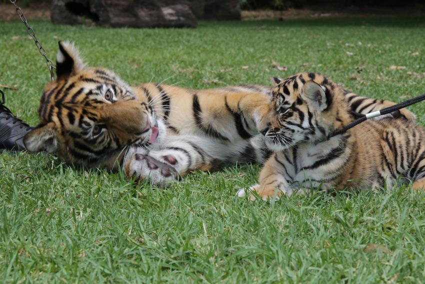 Як двоє неймовірних тигренят оселилися в Австралії  - фото 1