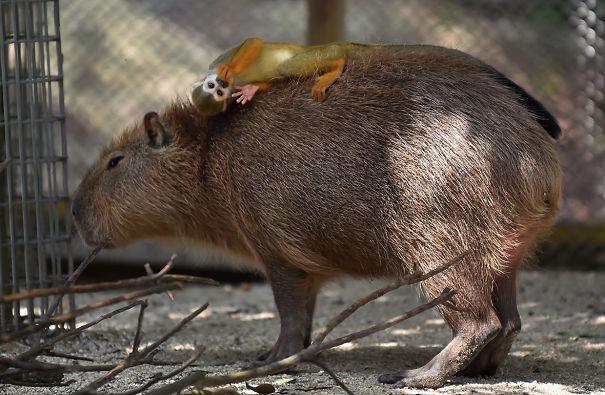 Як тварини обожнюють кумедних капібар  - фото 7