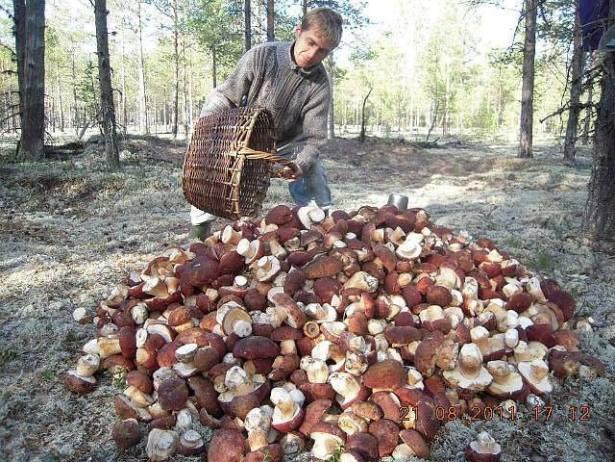 очень много белых грибов видео