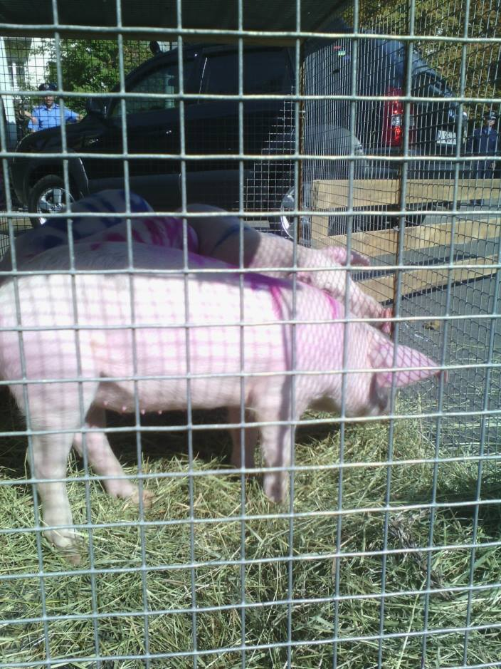 """На Банкову привели свиней та козу: вимагають відлучити Насірова від """"корита"""" - фото 2"""