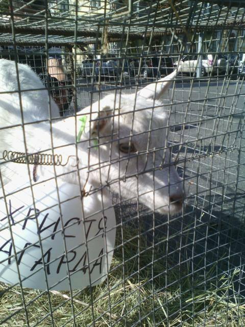 """На Банкову привели свиней та козу: вимагають відлучити Насірова від """"корита"""" - фото 3"""