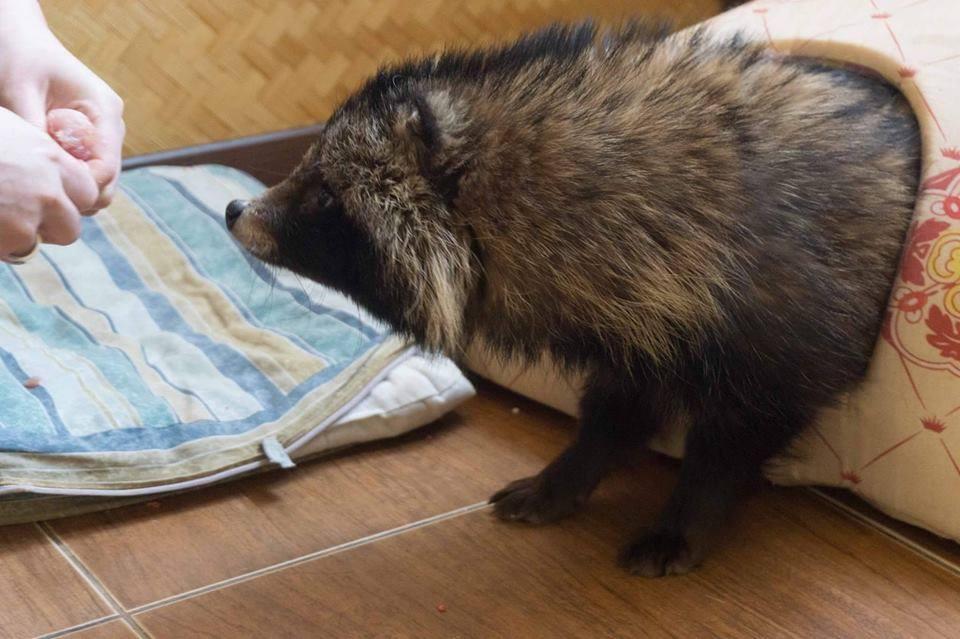 Київські волонтери розшукують власника для єнота, якому дуже потрібний дім - фото 1