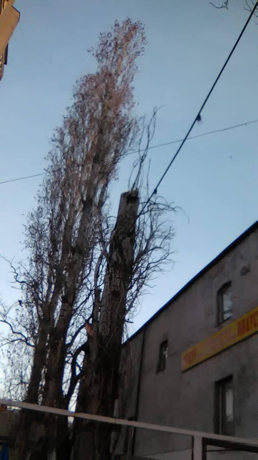 Повилазило: у Миколаєві комунальники два тижні не бачили поламаного дерева - фото 2