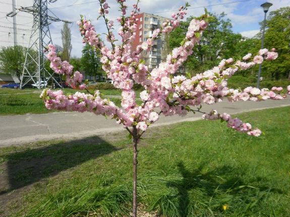 У Києві рясно цвітне сакура  - фото 1