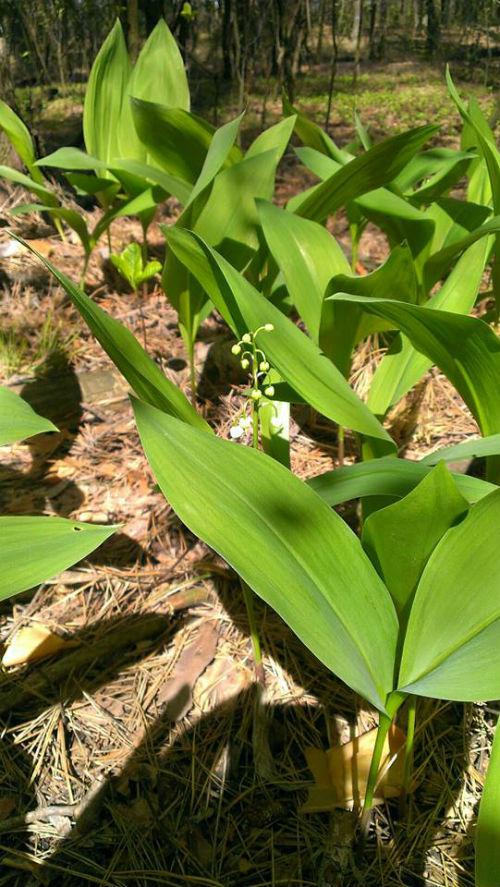 У лісах Київщині квітне запашна конвалія  - фото 3