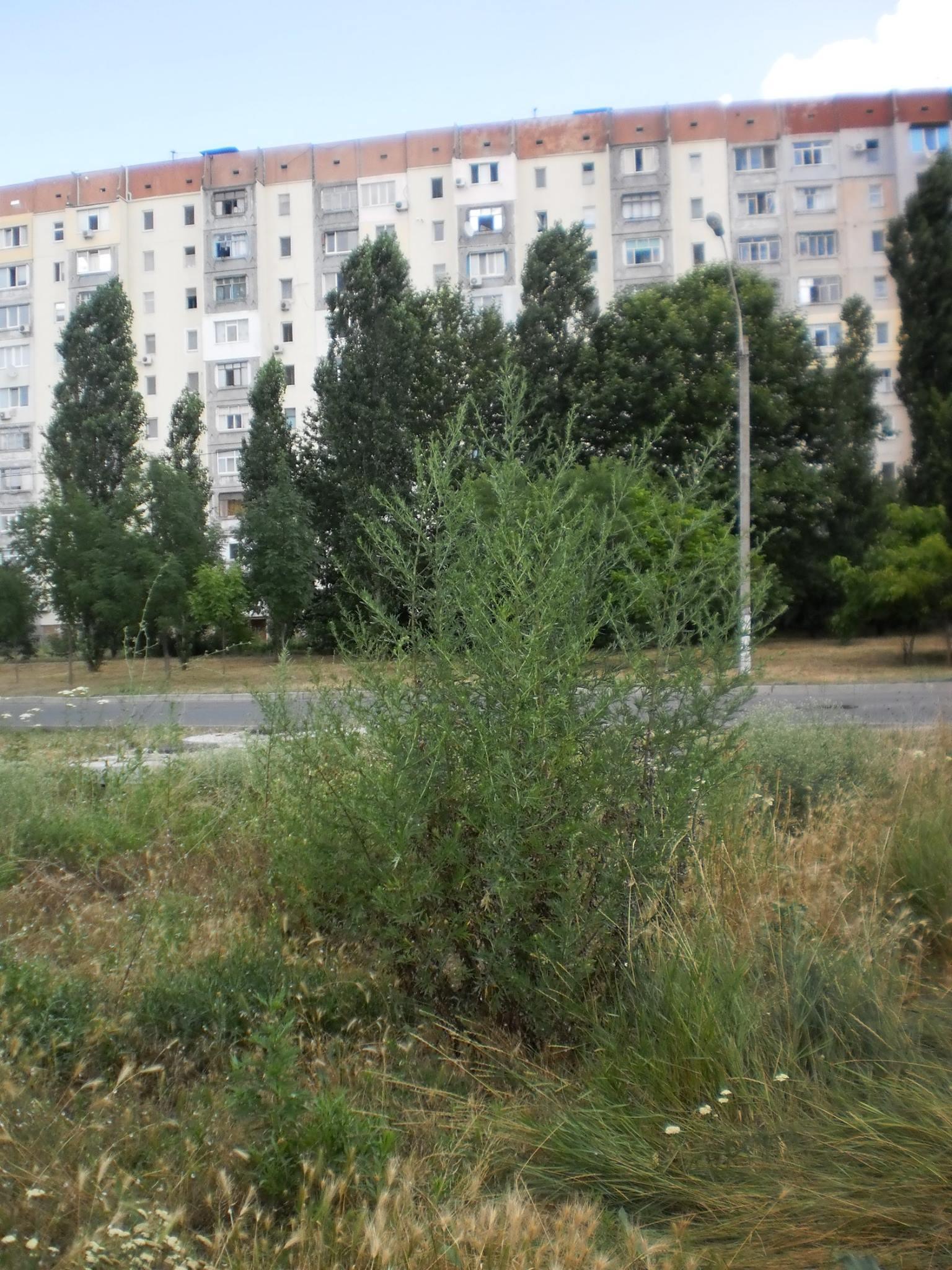 """Алергики """"вішайтесь"""": Миколаїв заростає амброзією - фото 2"""