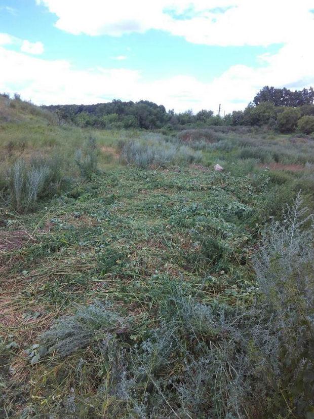 На Харківщині поблизу кордону з Росією виявили плантацію коноплі - фото 2