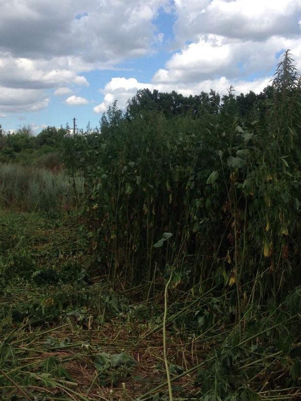 На Харківщині поблизу кордону з Росією виявили плантацію коноплі - фото 1