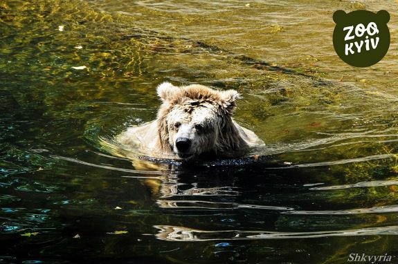 Як у Київському зоопарку ведмедиця рятується від задушливої спеки   - фото 2