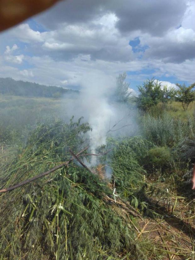 На Харківщині поблизу кордону з Росією виявили плантацію коноплі - фото 3